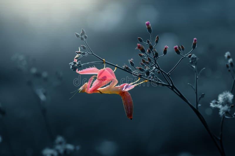 Пинк mantis орхидеи, mantis, орхидея, стоковые фотографии rf