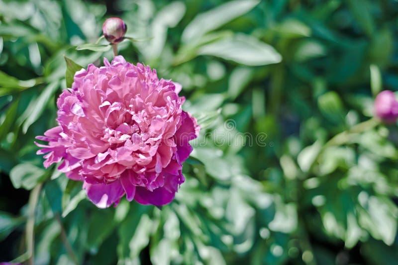 пинк peony цветка стоковое изображение rf