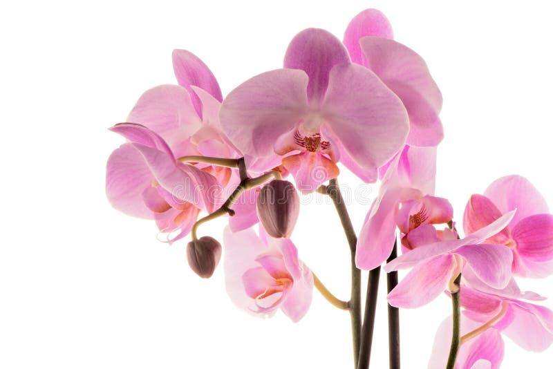 пинк ps орхидеи предпосылки красивейший созданный стоковые изображения rf