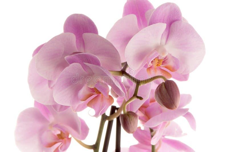 пинк ps орхидеи предпосылки красивейший созданный стоковые фото