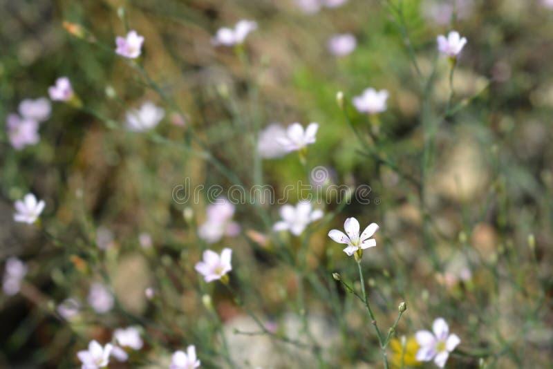 Пинк Saxifrage стоковое фото