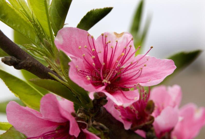 пинк sichuan персика макроса конца фарфора цветения вверх стоковая фотография rf