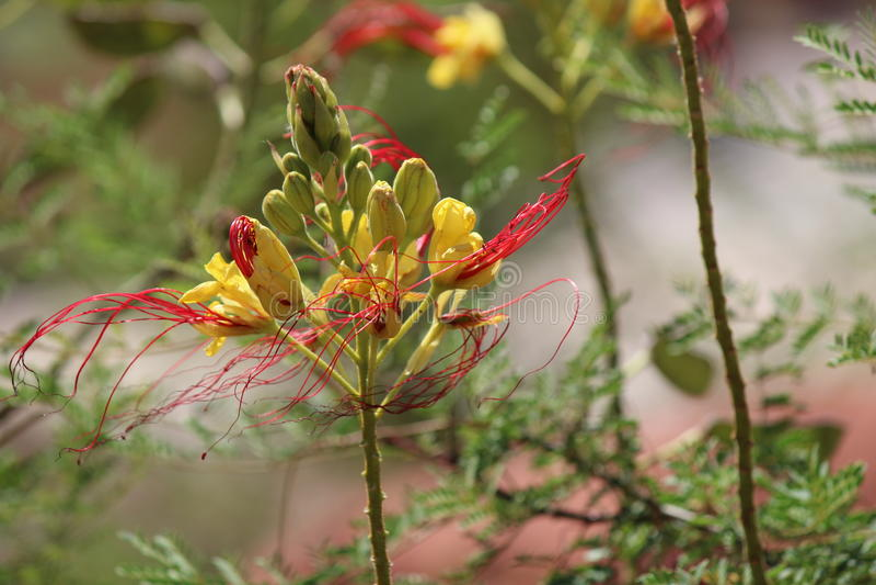 Пионерские цветки парка стоковая фотография rf