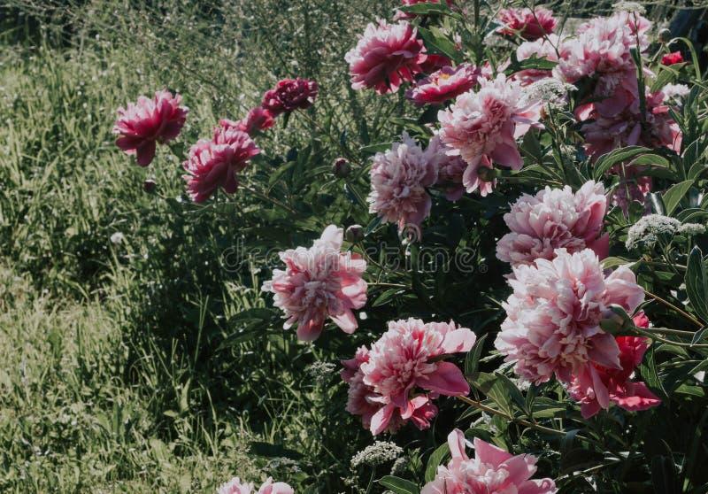 Пионы Буша красивые розовые на предпосылке зеленой травы Цветки пинка и белых в саде Пионы растя в траве стоковые фотографии rf