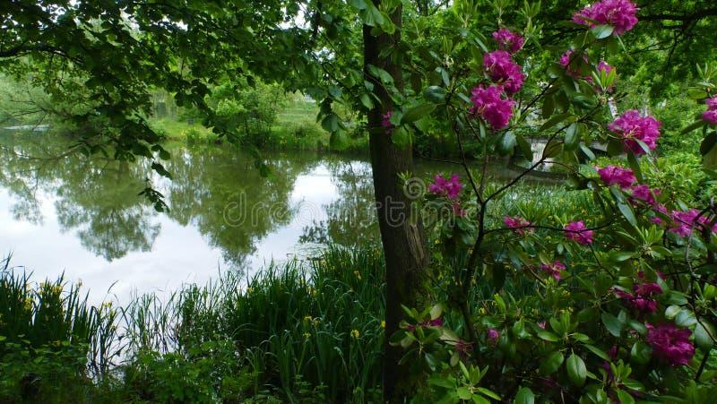 Пионы зацветая на пруде стоковое фото rf