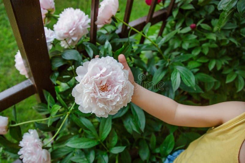 Пионы кустарников красивые в саде Солнечный день в саде стоковые изображения
