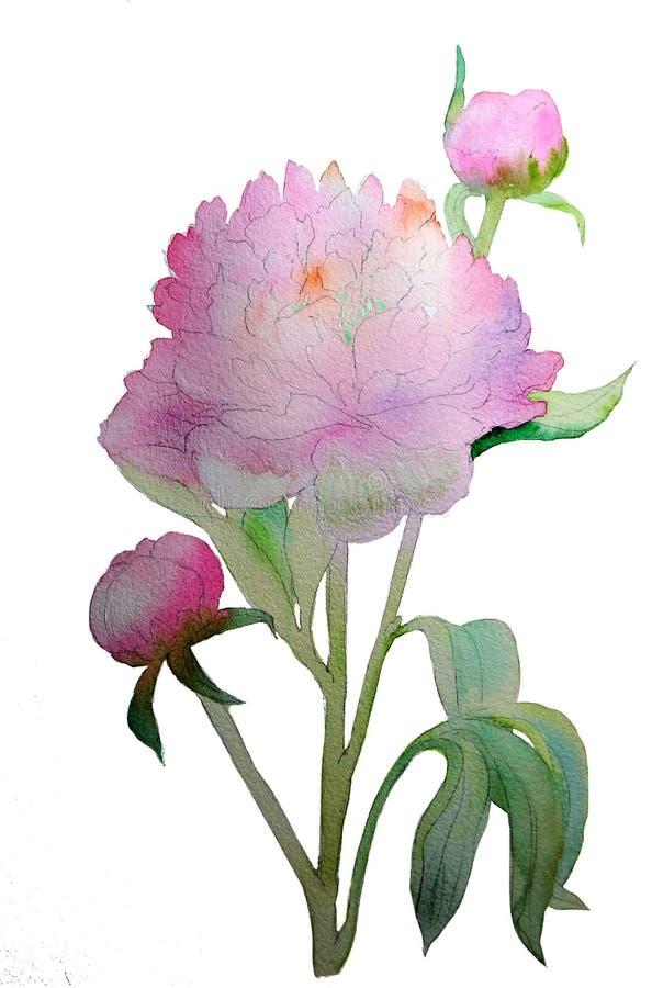 Пион акварели чувствительный розовый иллюстрация вектора