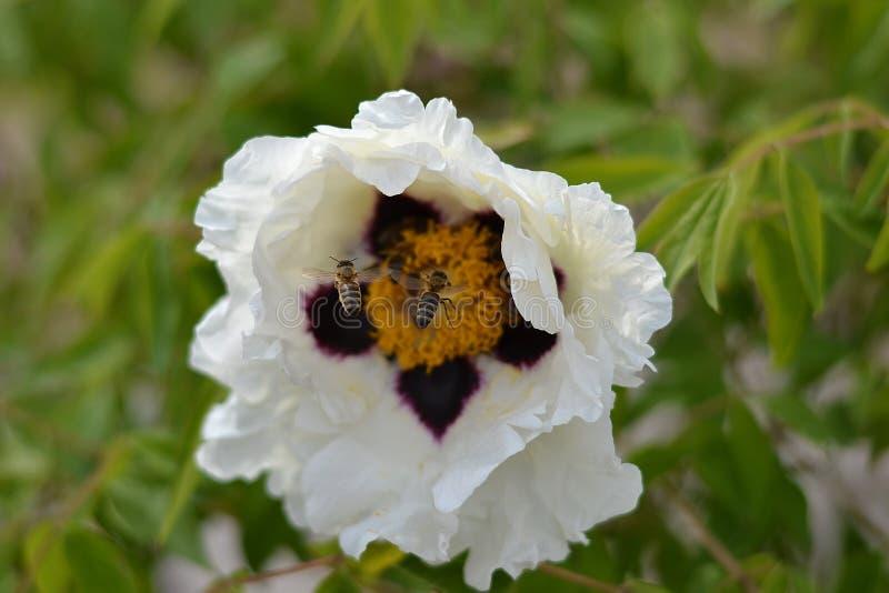 Пион дерева влюбленности пчел стоковая фотография rf