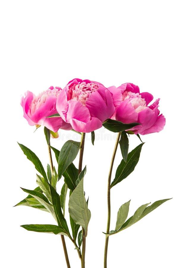 Пион цветка розовый стоковые фото