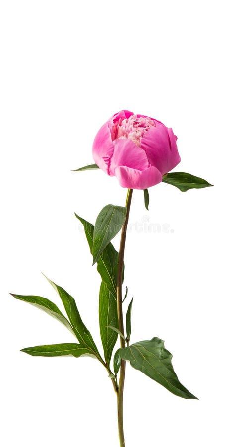 Пион цветка розовый стоковая фотография