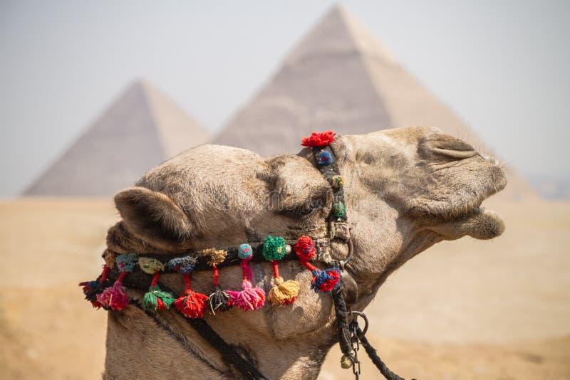 пирамидки giza верблюда стоковая фотография rf
