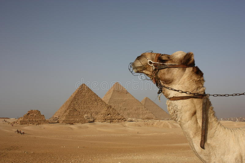 пирамидки giza верблюда стоковые фотографии rf
