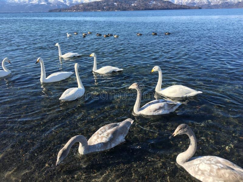 Питание в реальном маштабе времени Японии горы белой воды серого цвета озера лебед свободное одичалое стоковое изображение
