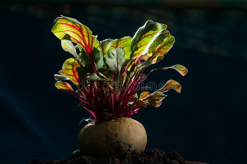 Питание свежих бураков здоровое vegetable высокое стоковое изображение