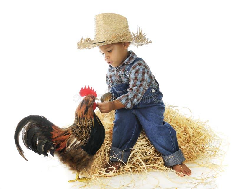 Питание цыпленка стоковые изображения rf