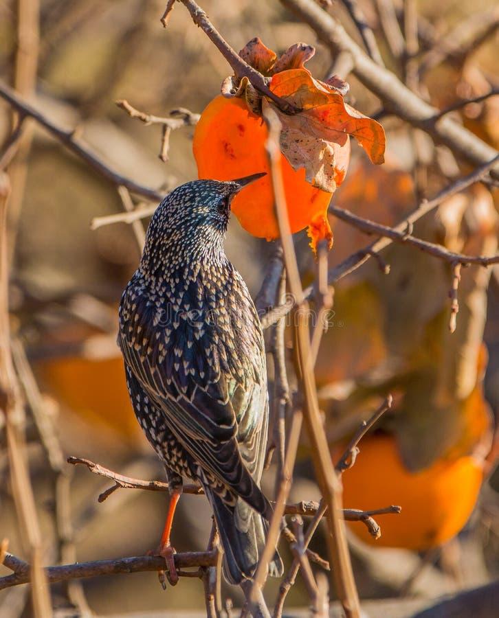 Питания общего Starling на плодоовощ kaki стоковые изображения rf