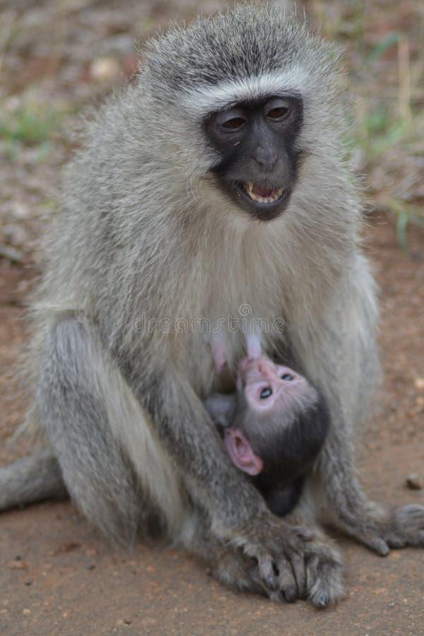 Питаться обезьяны младенца стоковые изображения rf