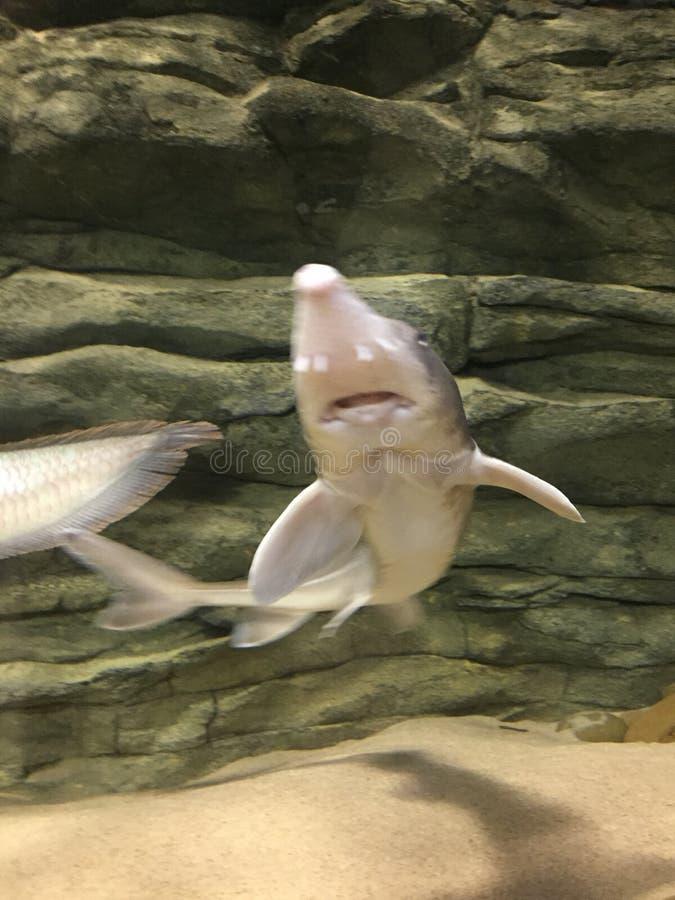 Питаясь акулы стоковые фотографии rf