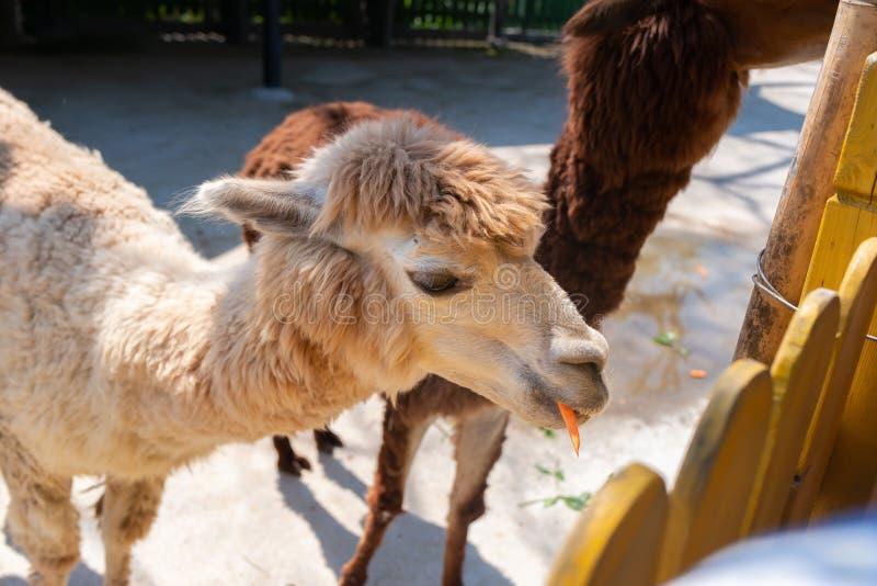 Питаясь альпаки в зоопарке стоковые изображения rf