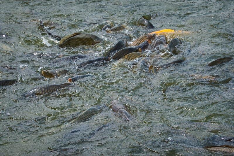 Питаясь остервенение рыб стоковые изображения