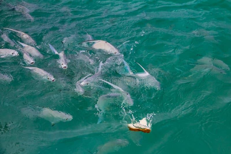 Питаясь остервенение школы рыб в теплых водах бирюзы карибского моря с побережья Багамских островов стоковое фото rf