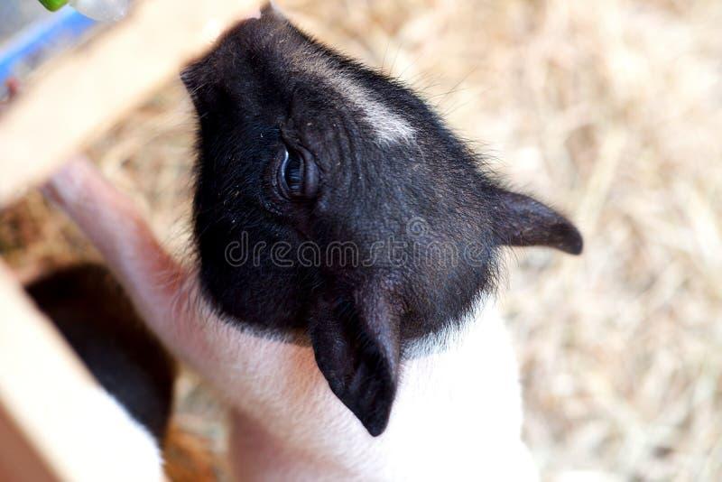Питаясь свинья стоковое фото rf