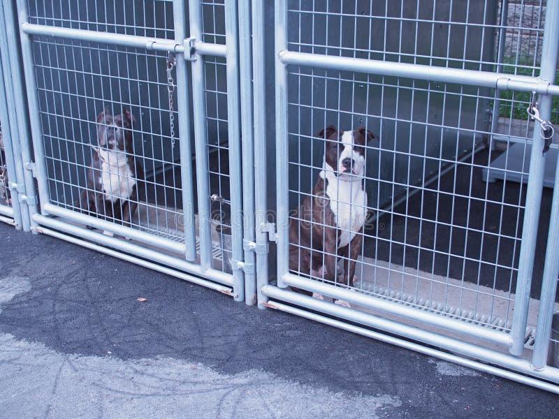 Питбули в приюте для животных стоковое фото