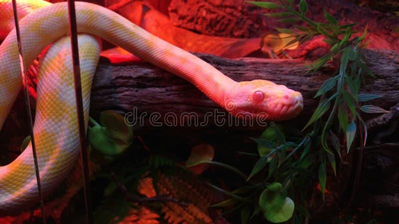 Питон ковра Дарвина альбиноса стоковые фотографии rf