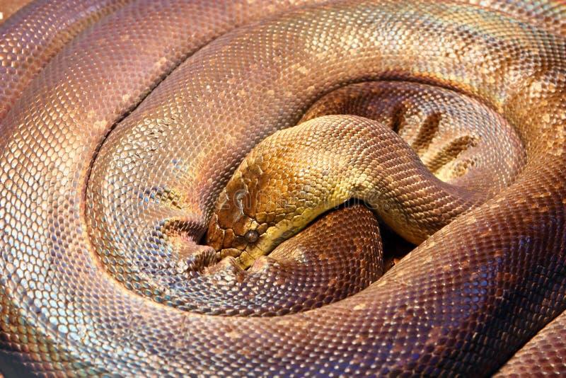 Питон Macklot, змейка стоковое фото rf