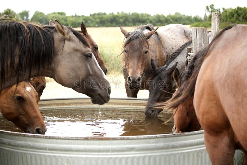 Питьевая вода лошадей от танка стоковые фото