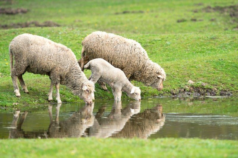 Питьевая вода овец и овечки стоковое изображение rf