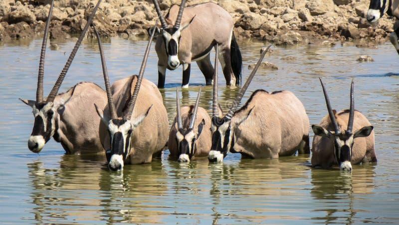 Питьевая вода сернобыка на национальном парке Estosha стоковые фотографии rf