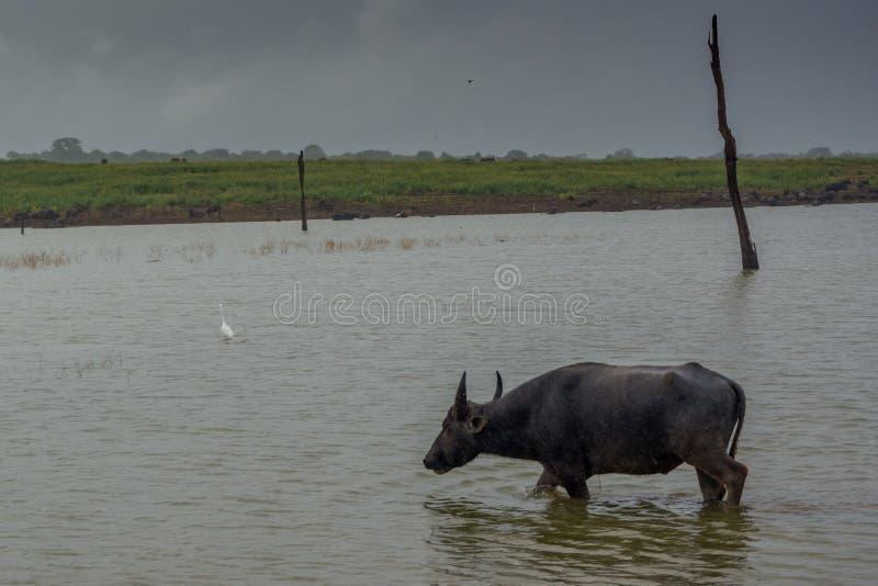 Питьевая вода буйвола от озера стоковое фото