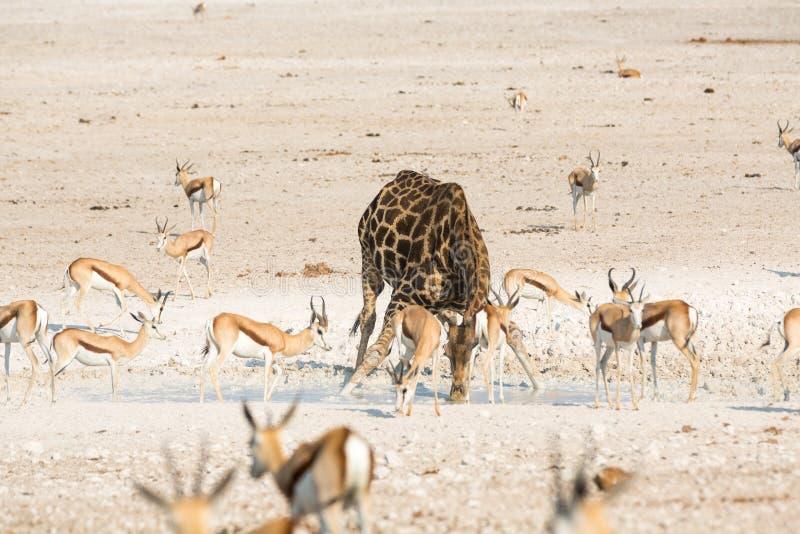 Питьевая вода жирафа и прыгуна стоковые изображения rf