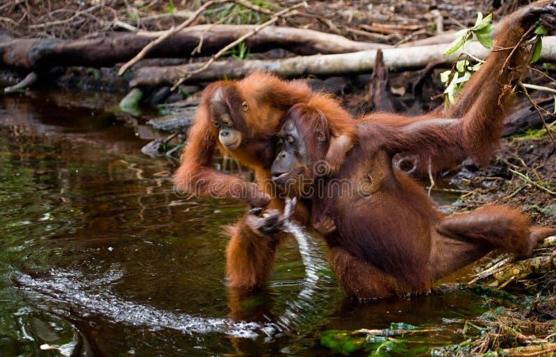 Питьевая вода орангутана женщины и младенца от реки в джунглях Индонезия Остров Kalimantan & x28; Borneo& x29; стоковое изображение