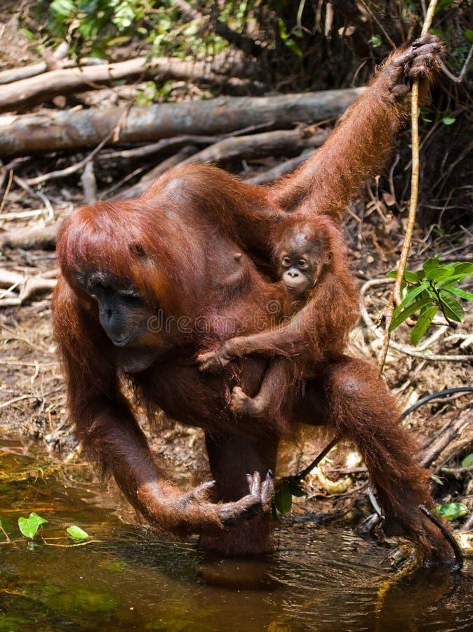 Питьевая вода орангутана женщины и младенца от реки в джунглях Индонезия Остров Kalimantan & x28; Borneo& x29; стоковое фото