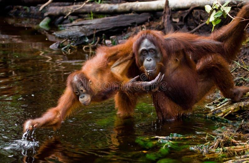 Питьевая вода орангутана женщины и младенца от реки в джунглях Индонезия Остров Kalimantan & x28; Borneo& x29; стоковая фотография rf