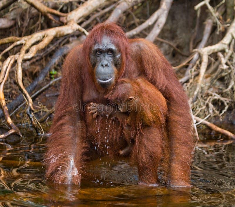 Питьевая вода орангутана женщины и младенца от реки в джунглях Индонезия Остров Kalimantan Борнео стоковое фото rf