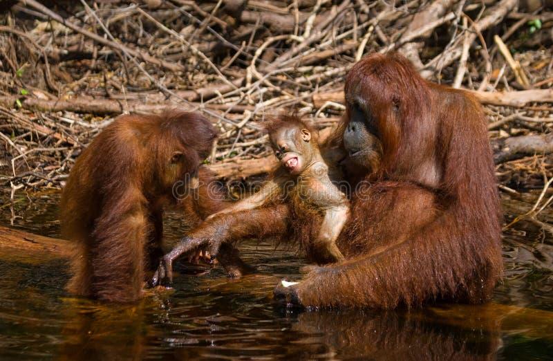 Питьевая вода орангутана от реки в джунглях Индонезия Остров Kalimantan & x28; Borneo& x29; стоковое изображение rf