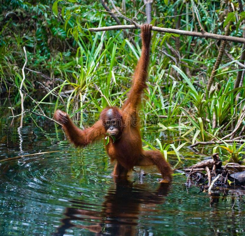 Питьевая вода орангутана от реки в джунглях Индонезия Остров Kalimantan & x28; Borneo& x29; стоковые изображения rf
