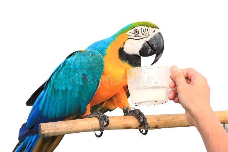 Питьевая вода попугая ары стоковое изображение rf
