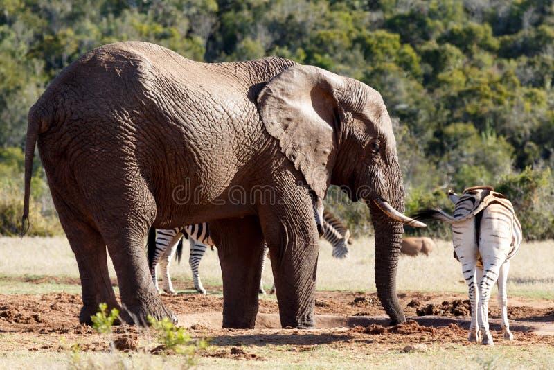 Питьевая вода слона Буша пока конец положения зебры мимо стоковые фотографии rf