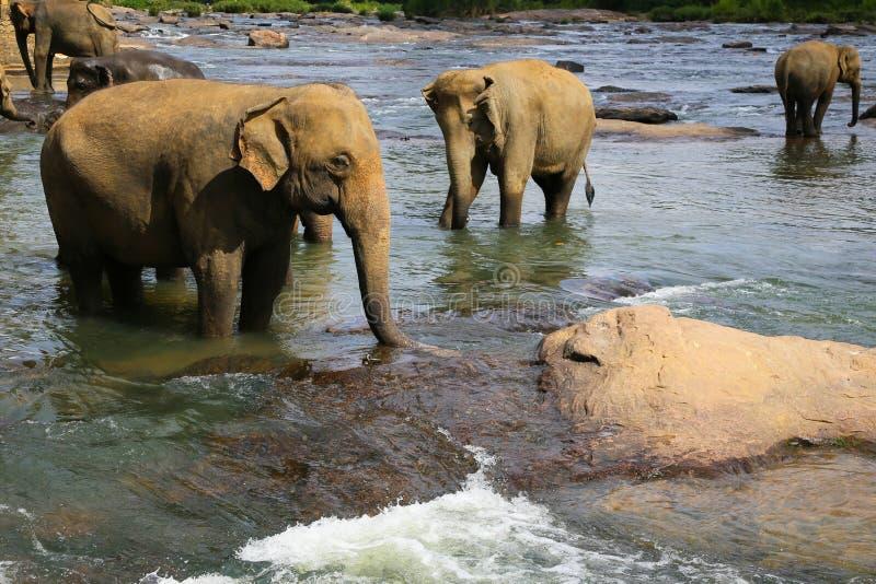 Питьевая вода слона стоковые изображения rf