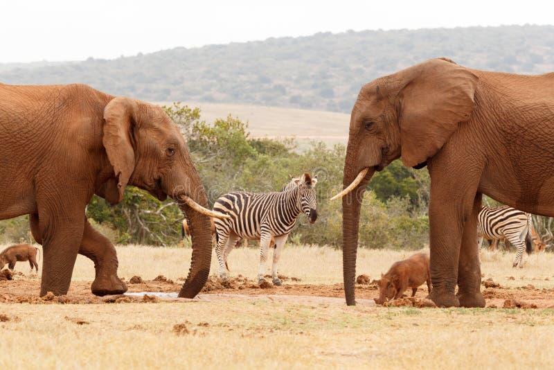 Питьевая вода слонов Буша с другими дикими животными вокруг стоковое изображение rf