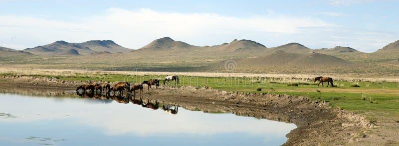 Питье лошадей от реки стоковое фото