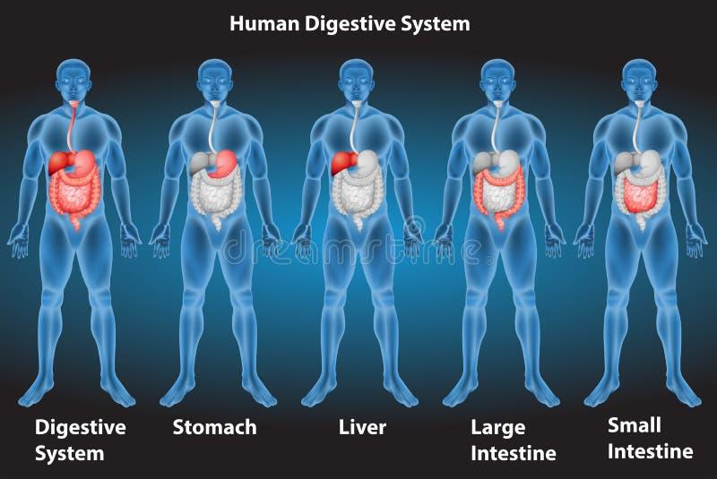 Пищеварительная система иллюстрация вектора