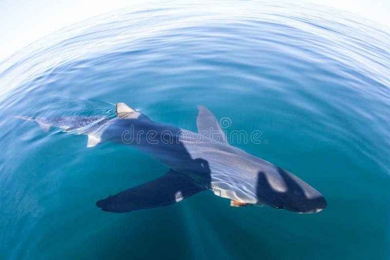 Плавание голубой акулы на поверхности океана стоковые фотографии rf