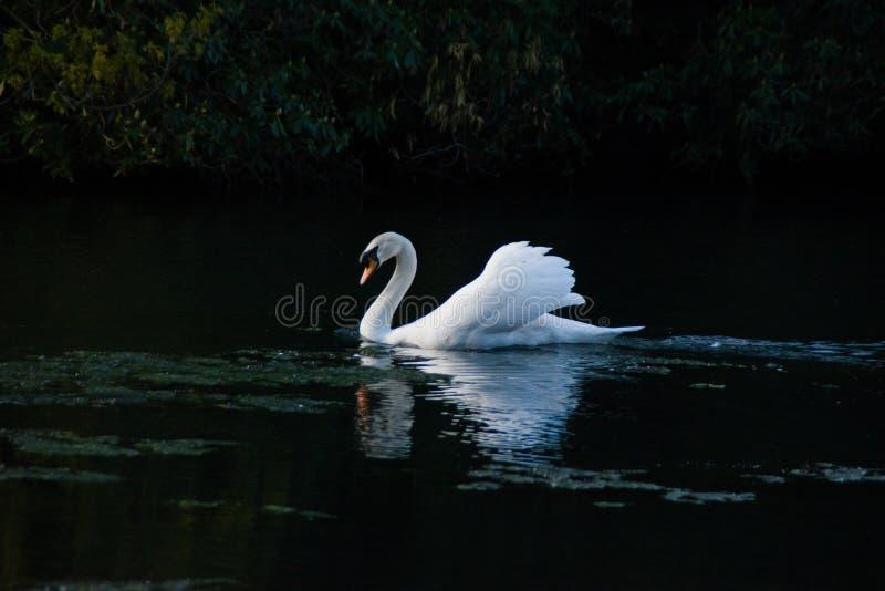 Плавание лебедя в озере стоковое изображение