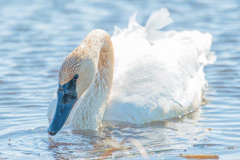 Плавание лебедя трубача индивидуальное - принятое во время предыдущих миграций весны на зоне живой природы лугов Crex в северном  стоковые изображения