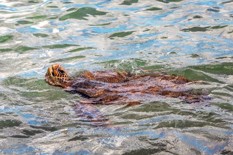 Плавание морской черепахи около Мауи, Гаваи стоковое изображение rf